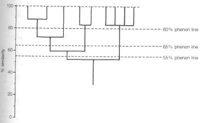 A dendrogram showing phenetic similarity. The phenon lines delimit groups of the same rank.
