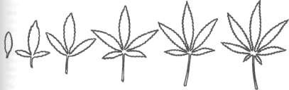 Heteroblastic leaf development in Cannabis sativa.