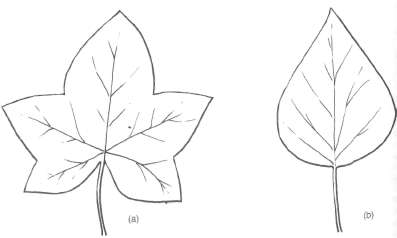 Juvenile (a) and mature (b) leaves of ivy.