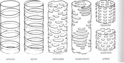 Types of secondary wall thickening in tracheary elements.